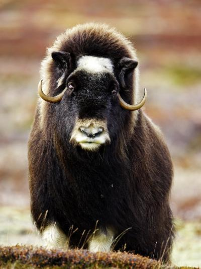 Musk Ox, Portrait of Adult Female on Tundra, Norway-Mark Hamblin-Photographic Print