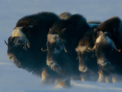 Musk-Oxen, Ovibos Moschatus, Huddle in a Protective Formation-Norbert Rosing-Photographic Print