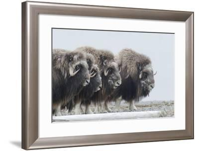 Musk Oxen, Ovibos Moschatus, in a Defensive Ring around their Young-Peter Mather-Framed Photographic Print