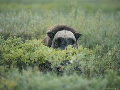 Musk Oxen Peers over a Bush Along Dalton Highway-Rich Reid-Photographic Print