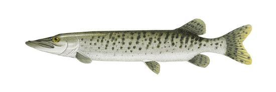 Muskellunge (Esox Masquinongy), Fishes-Encyclopaedia Britannica-Art Print