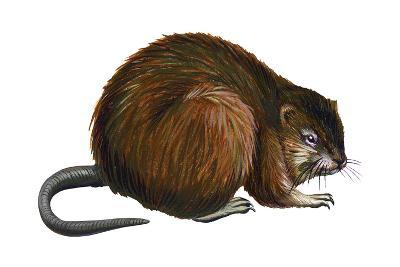 Muskrat (Ondatra Zibethica), Mammals-Encyclopaedia Britannica-Art Print