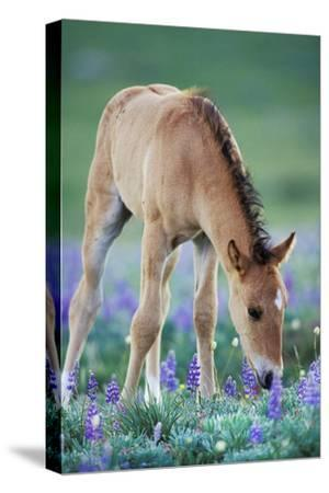 Mustang Wild Horse Colt Checking Out Wildflowers