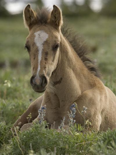 Mustang / Wild Horse Colt Foal Resting Portrait, Montana, USA Pryor Mountains Hma-Carol Walker-Photographic Print