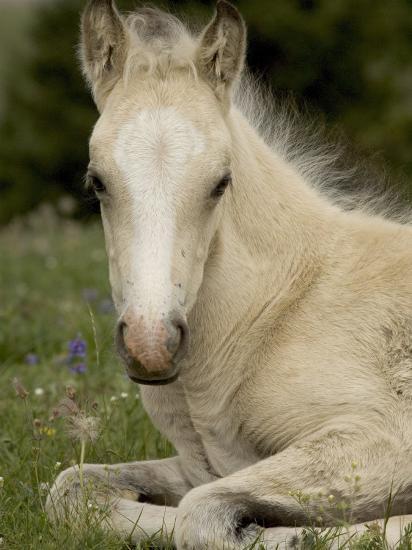 Mustang / Wild Horse Filly Portrait, Montana, USA Pryor Mountains Hma-Carol Walker-Photographic Print