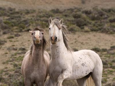 https://imgc.artprintimages.com/img/print/mustang-wild-horse-grey-stallion-and-filly-wyoming-usa-adobe-town-hma_u-l-q10nzpk0.jpg?p=0