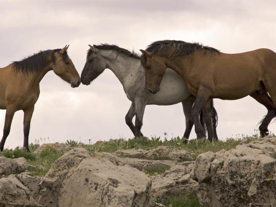 Mustang / Wild Horse Red Dun Stallion Sniffing Mare's Noses, Montana, USA Pryor-Carol Walker-Photographic Print