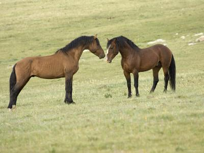 Mustang / Wild Horse, Two Stallions Approaching Each Other, Montana, USA Pryor-Carol Walker-Photographic Print