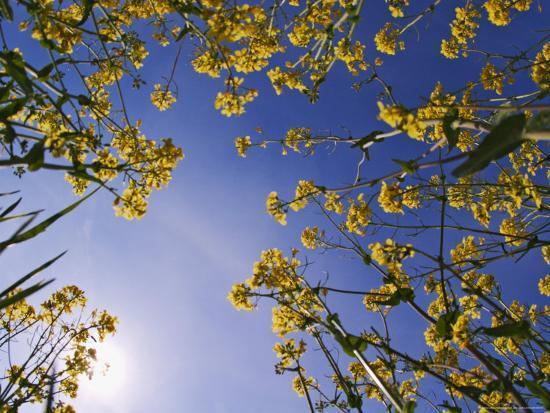Mustard Flowers, Shaker Village of Pleasant Hill, Kentucky, USA-Adam Jones-Photographic Print