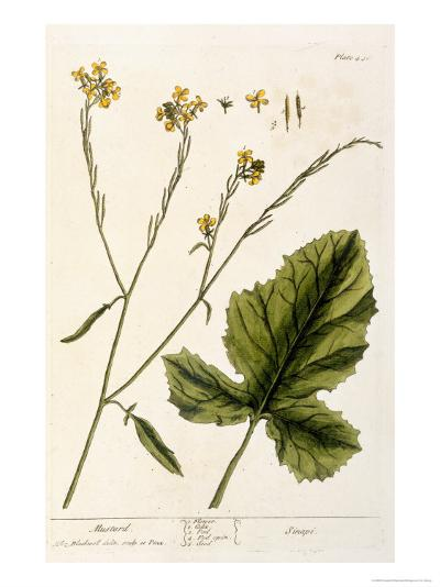 Mustard, Plate 446 from A Curious Herbal, Published 1782-Elizabeth Blackwell-Giclee Print