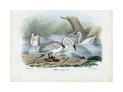 Mute Swan, 1863-79-Raimundo Petraroja-Giclee Print