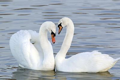 Mute Swan Courtship Display--Photographic Print