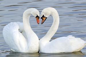 Mute Swan Courtship Display