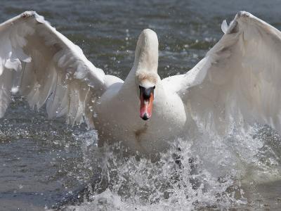 Mute Swan (Cygnus Color), Taking Off, Abbotsbury Swannery, Dorset, England, United Kingdom, Europe-Ann & Steve Toon-Photographic Print