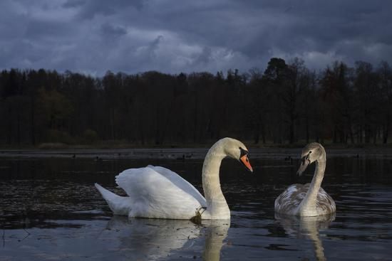 Mute Swan (Cygnus Olor), Adult And Juvenile Feeding At Twilight. Lower Silesia. Poland-Oscar Dominguez-Photographic Print
