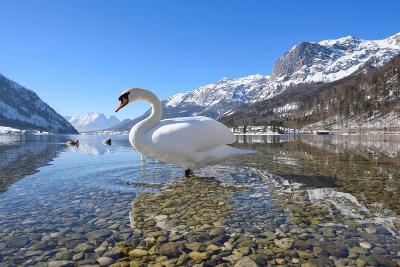 Mute Swan (Cygnus Olor), at Lake Grundel in Winter, Austria, Styria-Blickwinkel/Dum Sheldon-Photographic Print