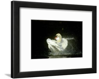 Mute Swan, Cygnus Olor Bathing Showing Water Spray Notts-Mark Hamblin-Framed Photographic Print