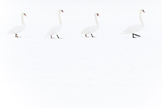 Mute Swan (Cygnus Olor) Group of Four Camouflaged Against Winter Snow-Edwin Giesbers-Photographic Print