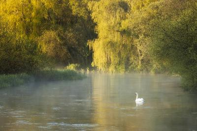 Mute Swan (Cygnus Olor) on the River Itchen at Dawn, Ovington, Hampshire, England, UK, May-Guy Edwardes-Photographic Print