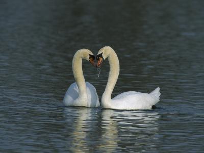 Mute Swan (Cygnus Olor) Pair Courting, Switzerland-Thomas Marent/Minden Pictures-Photographic Print