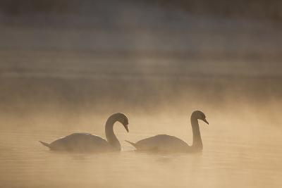 Mute Swan (Cygnus Olor) Pair on Water in Winter Dawn Mist, Loch Insh, Cairngorms Np, Highlands, UK-Peter Cairns-Photographic Print