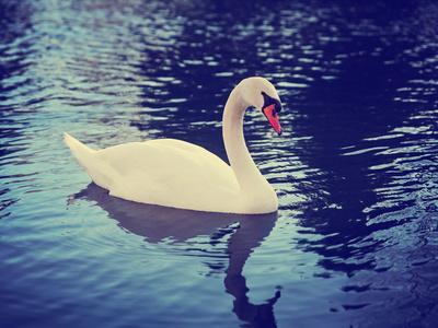 https://imgc.artprintimages.com/img/print/mute-swan-cygnus-olor-single-bird-on-dark-water-toned-with-a-retro-vintage-instagram-filter-effec_u-l-q105m650.jpg?p=0