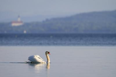 Mute Swan (Cygnus Olor) Swimming. Lake Starnberg. Upper Bavaria. Germany-Oscar Dominguez-Photographic Print