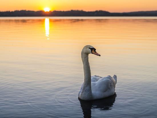 Mute swan in front of setting sun-enricocacciafotografie-Photographic Print