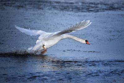 Mute Swan Landing-Marco Carmassi-Photographic Print