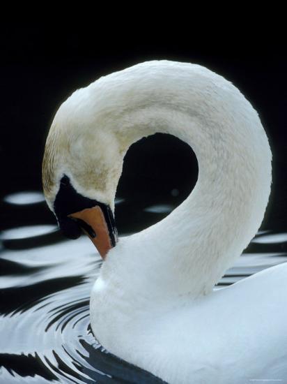 Mute Swan Male Preening, UK-Simon King-Photographic Print