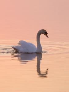 Mute Swan on Calm Water at Sunrise