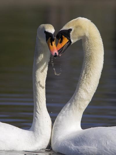 Mute Swan Pair, Courting at Martin Mere Wildfowl and Wetlands Trust Nature Reserve, Lancashire-Steve & Ann Toon-Photographic Print