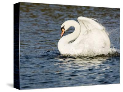 Mute Swan, Splashing During Bathing, UK-Mike Powles-Stretched Canvas Print