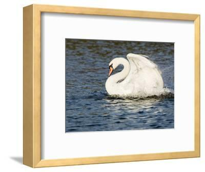 Mute Swan, Splashing During Bathing, UK-Mike Powles-Framed Photographic Print