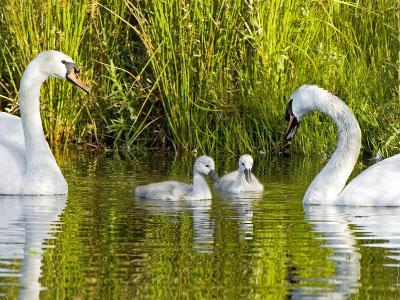 Mute Swan, Stanley Park, British Columbia-Paul Colangelo-Photographic Print