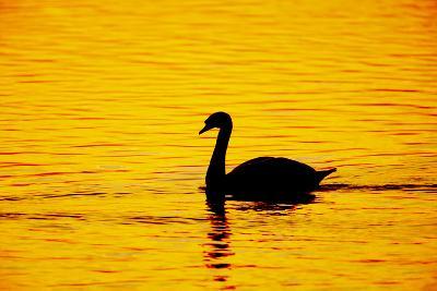 Mute Swan Sunset--Photographic Print