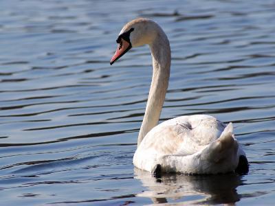 Mute Swan Swimming, an Invasive Species in USA, Arlington, Massachusetts, USA-Darlyne A^ Murawski-Photographic Print