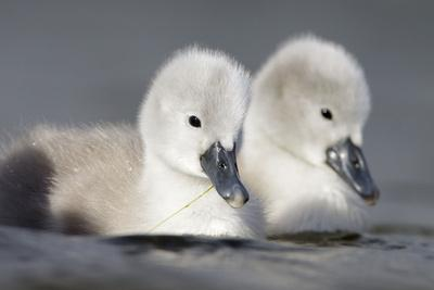 Mute Swan Two Chicks a Few Days Old--Photographic Print