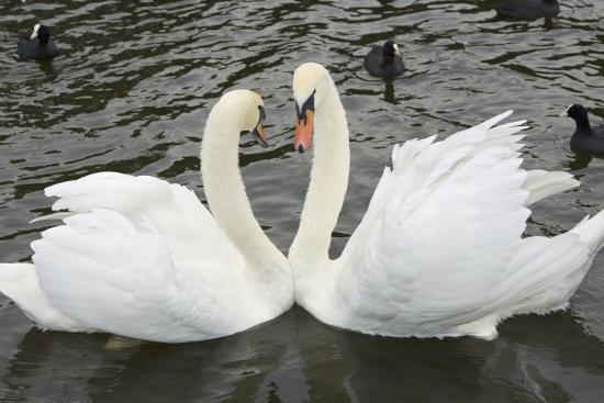 Mute Swans Courting-Georgette Douwma-Photographic Print