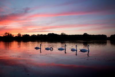 Mute Swans, Cygnus Olor, Swim on Pen Ponds at Sunset in Richmond Park-Alex Saberi-Photographic Print