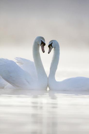 Mute Swans Pair in Courtship Behaviour Back-Lit--Photographic Print