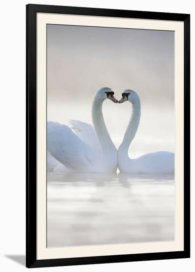 Mute Swans Pair in Courtship Behaviour--Framed Photographic Print