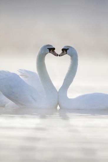 Mute Swans Pair in Courtship Behaviour--Photographic Print