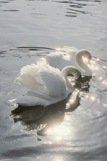 Mute Swans-Peter Scoones-Photographic Print