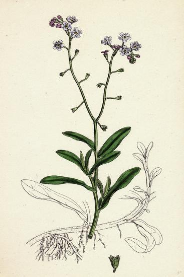 Myosotis Palustris Great Water Forget-Me-Not--Giclee Print