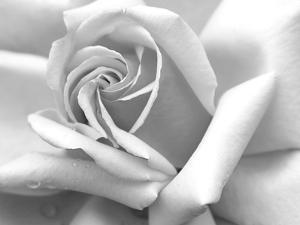 Rose Petals In Black And White by mypokcik