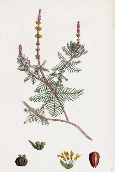 Myriophyllum Spicatum Spiked Water-Milfoil--Giclee Print