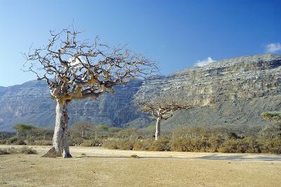 Myrrh Tree-Diccon Alexander-Photographic Print