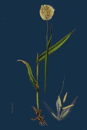 https://imgc.artprintimages.com/img/print/myrrhis-odorata-sweet-cicely_u-l-pvfz6y0.jpg?p=0