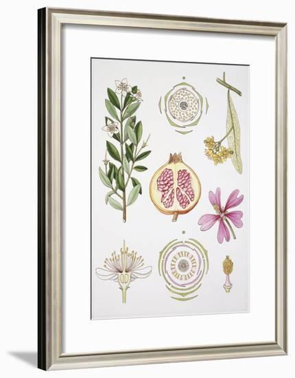 Myrtales and Malvales--Framed Giclee Print